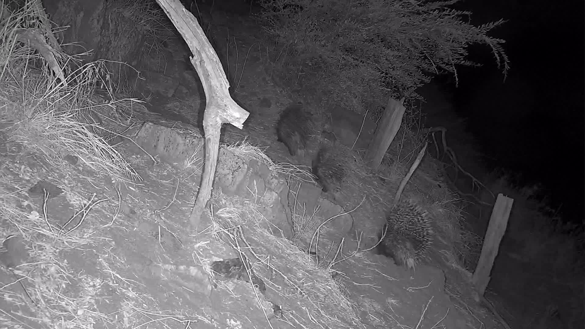 VIDEO:  Family of Porcupines:  Watch as the baby nurses