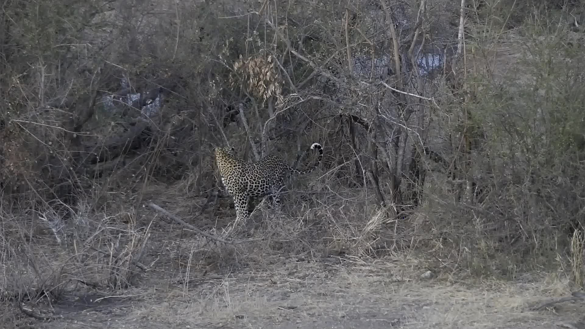 VIDEO: Male and female Leopards Part 2