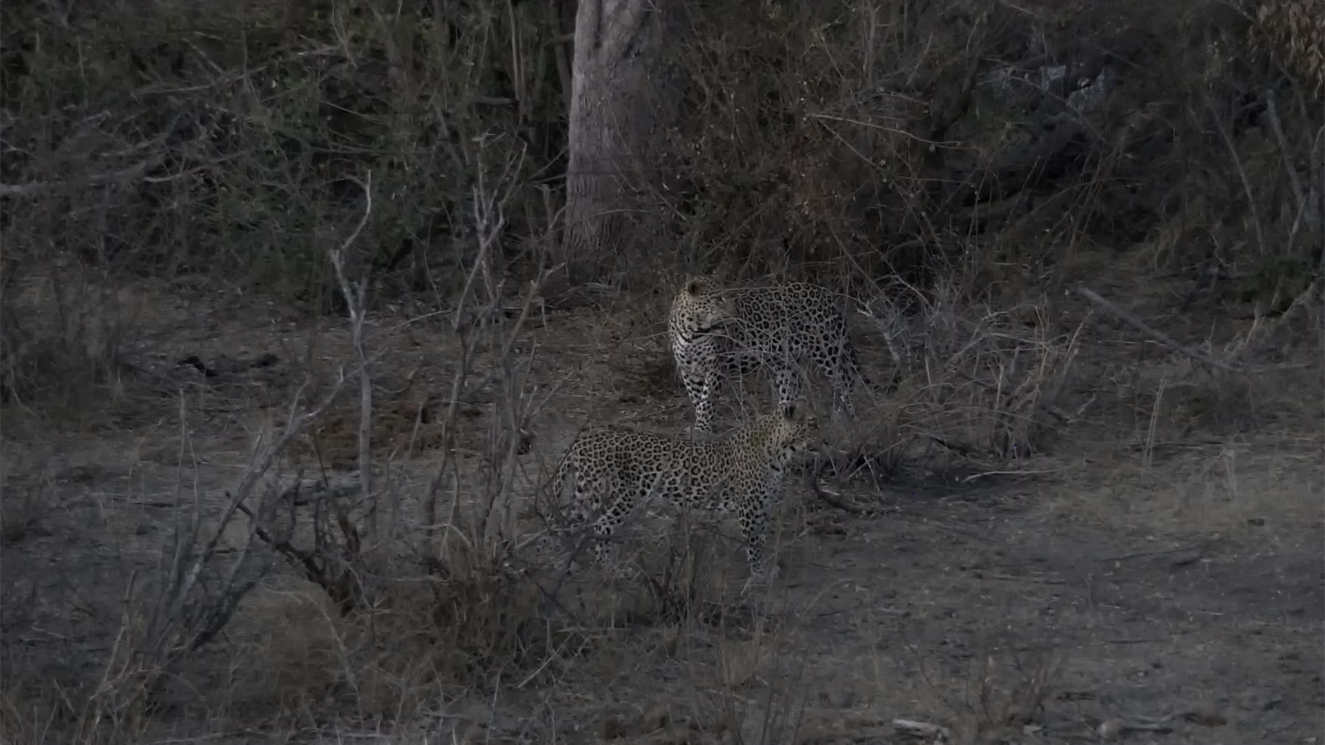 VIDEO: Male and female Leopards Part 3