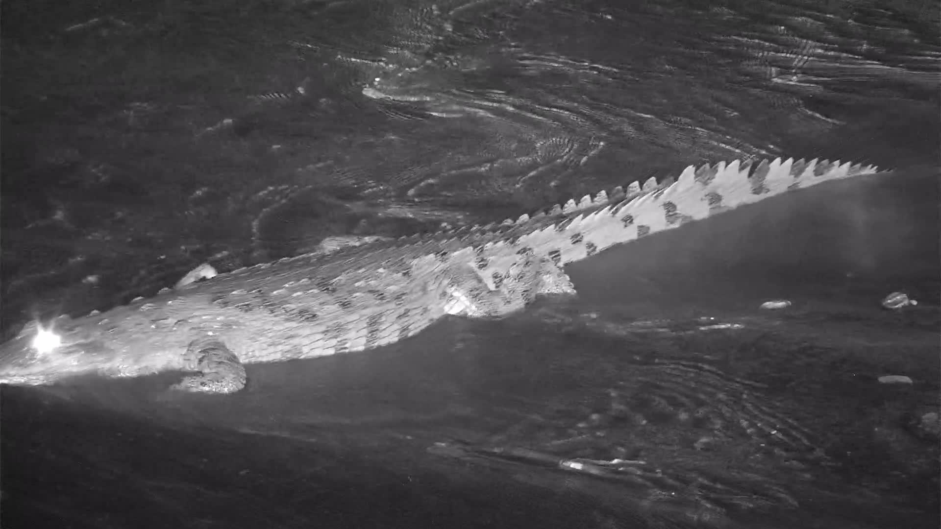 VIDEO: Crocodile lumbering across the sandbar