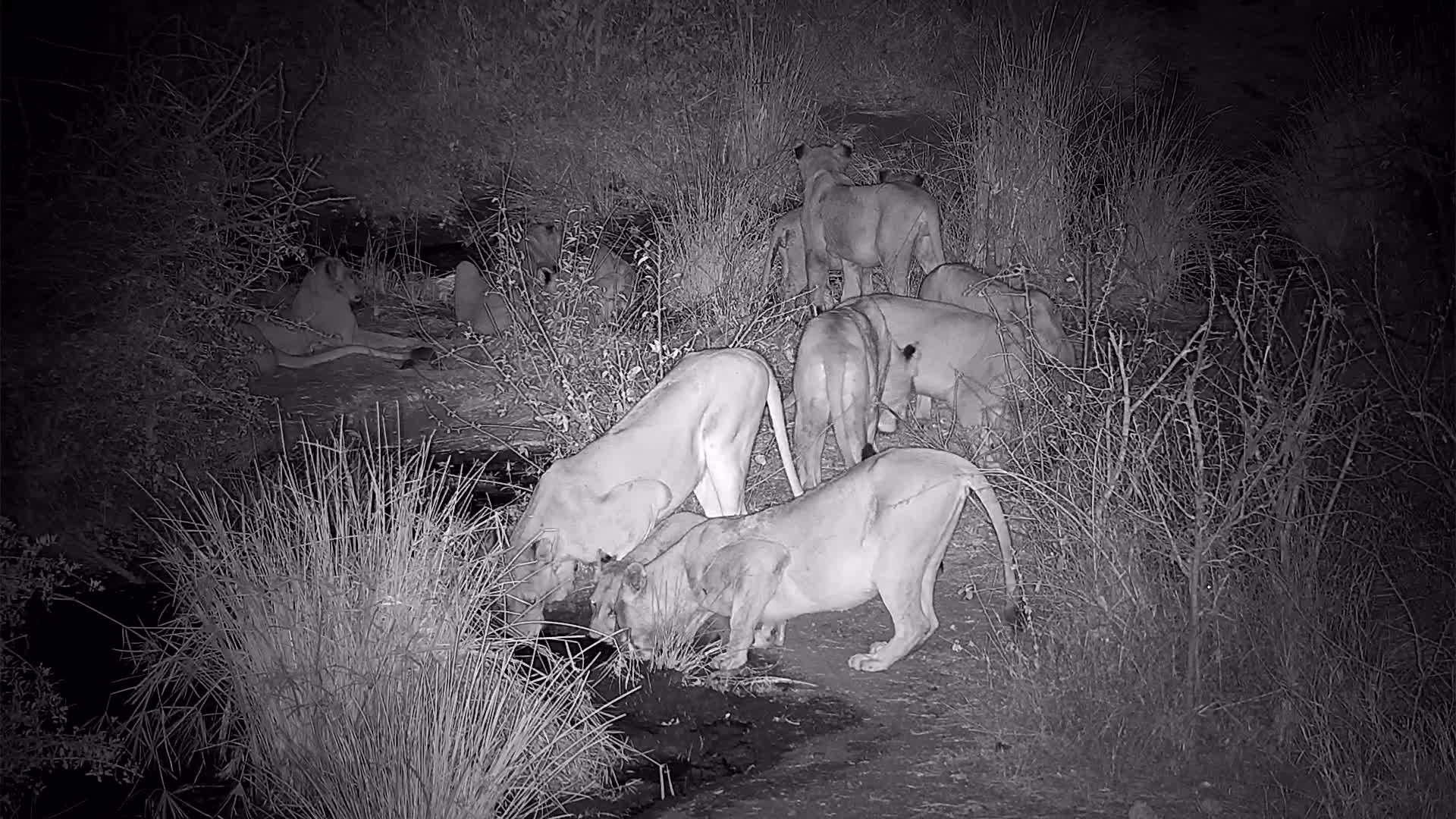 VIDEO: Lion Pride at the waterhole