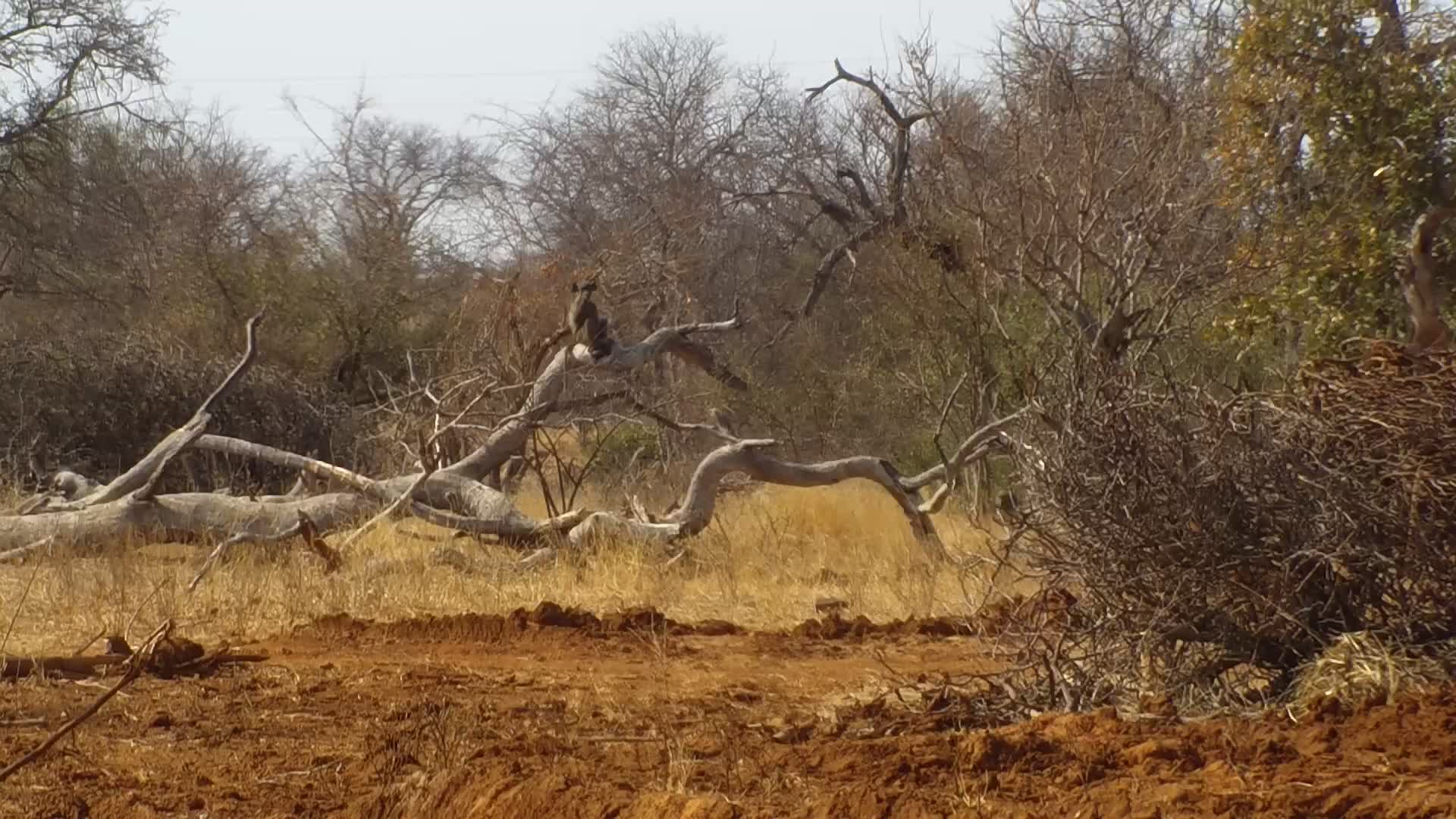 VIDEO: Baboons visiting the Egyptian Geese