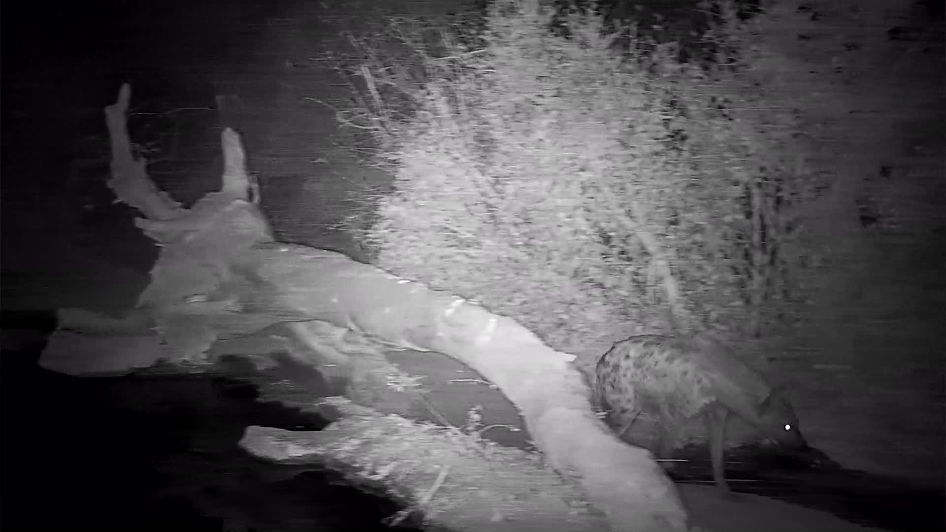 VIDEO: Hyaena in a huury