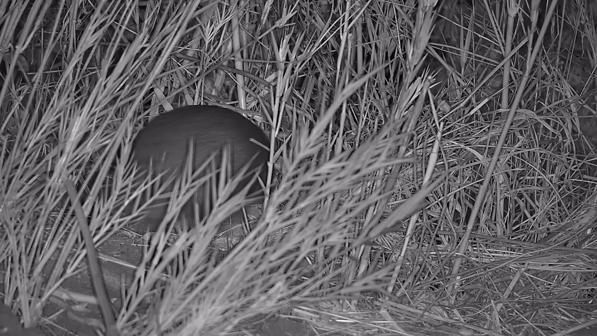 VIDEO:Greater Cane Rat Disappearing into the Undergrowth