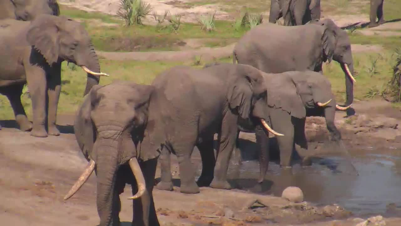 VIDEO: Elephants enjoy drinking and playing with the water and young bulls pushing each other.