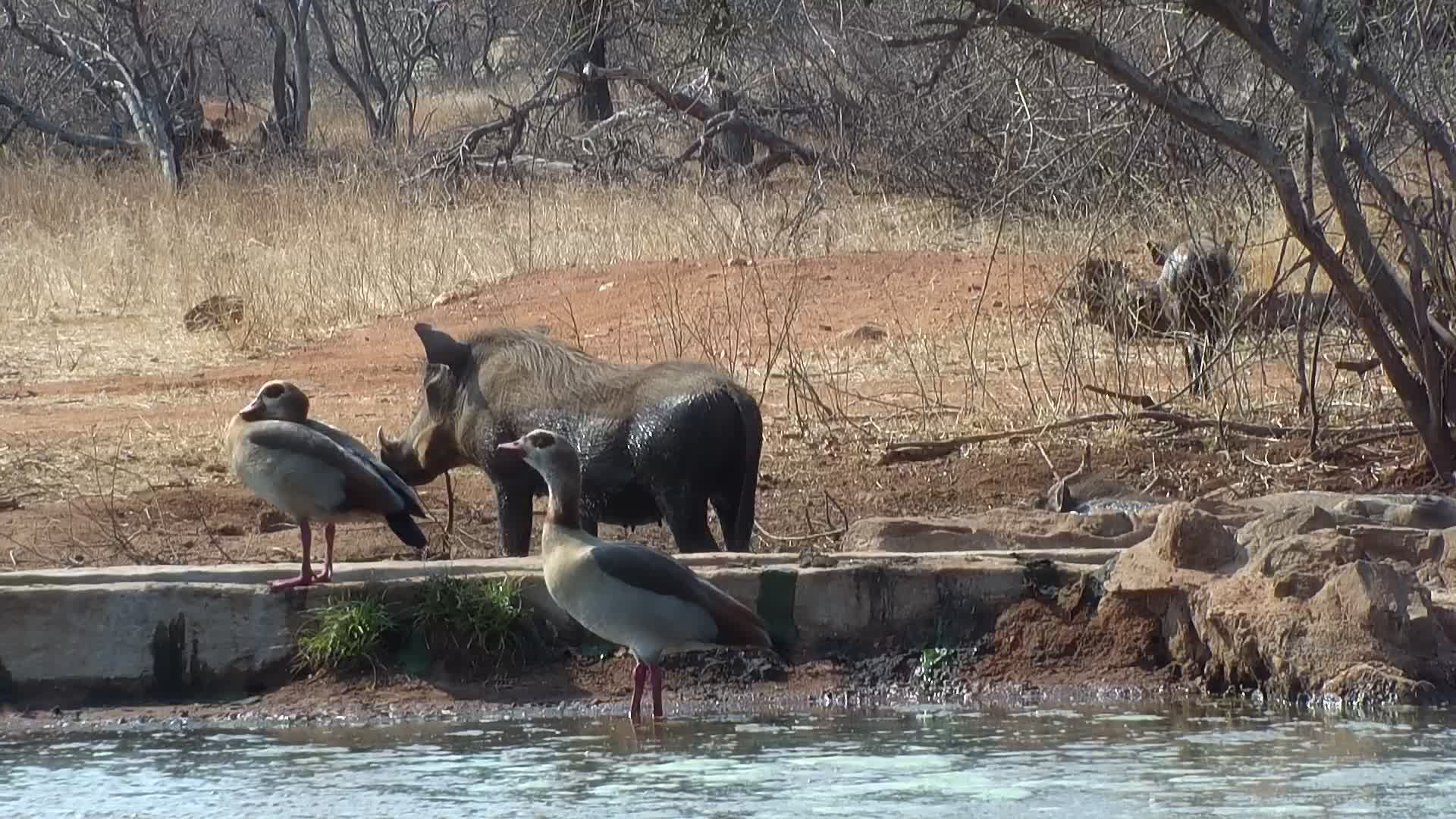 VIDEO: Warthogs and Egyptian Geese having a meeting at the waterhole