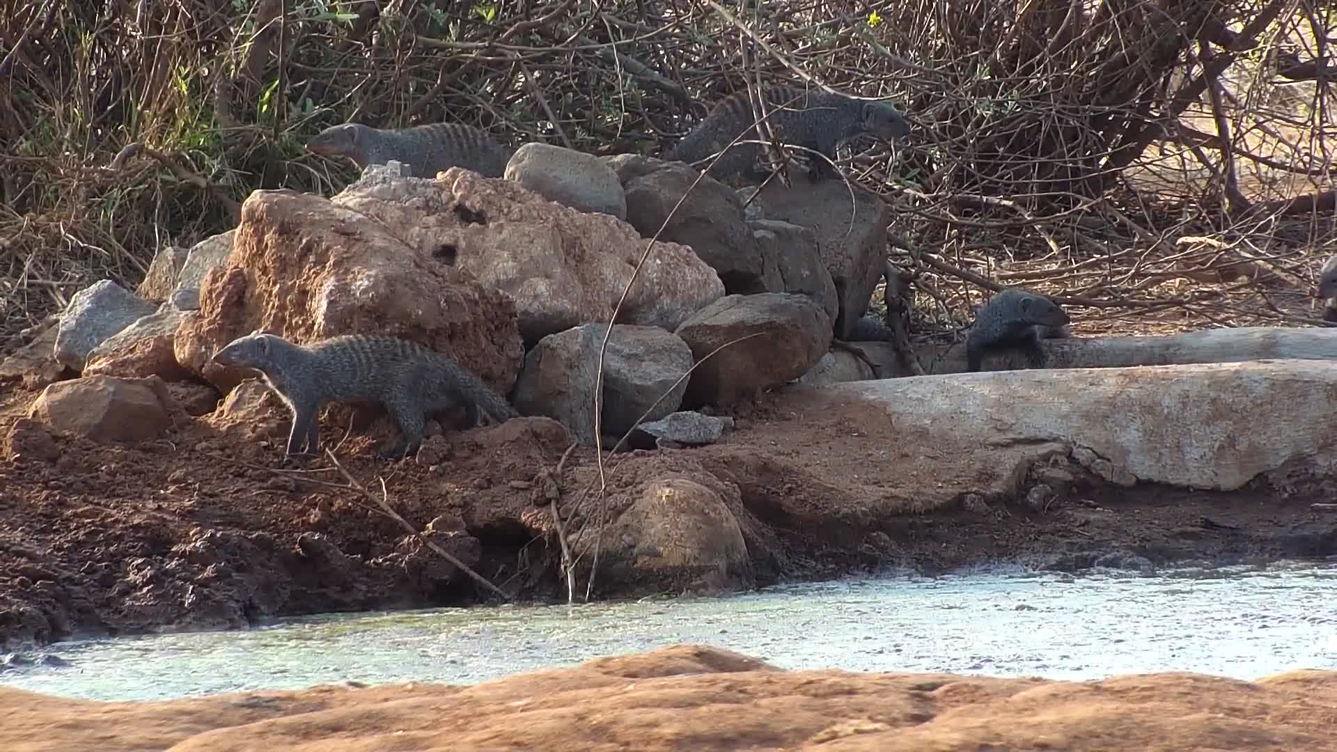 VIDEO: A 'business' of thirsty Banded Mongoose visit the waterhole