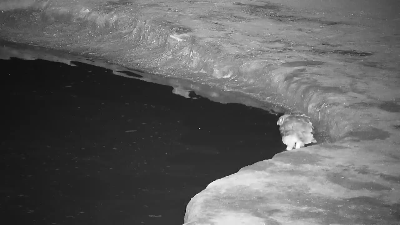 VIDEO: Verreaux's Eagle Owl having a drink and checked out by the Egyptian Geese