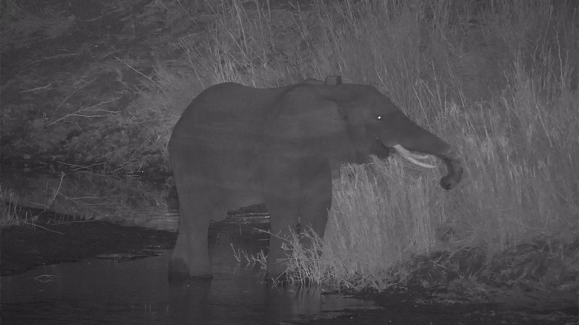 VIDEO: Elephant grazing by the river