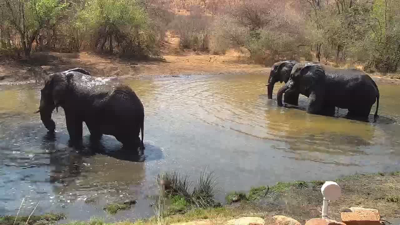 VIDEO: Three Elephant Bulls enjoying the pond