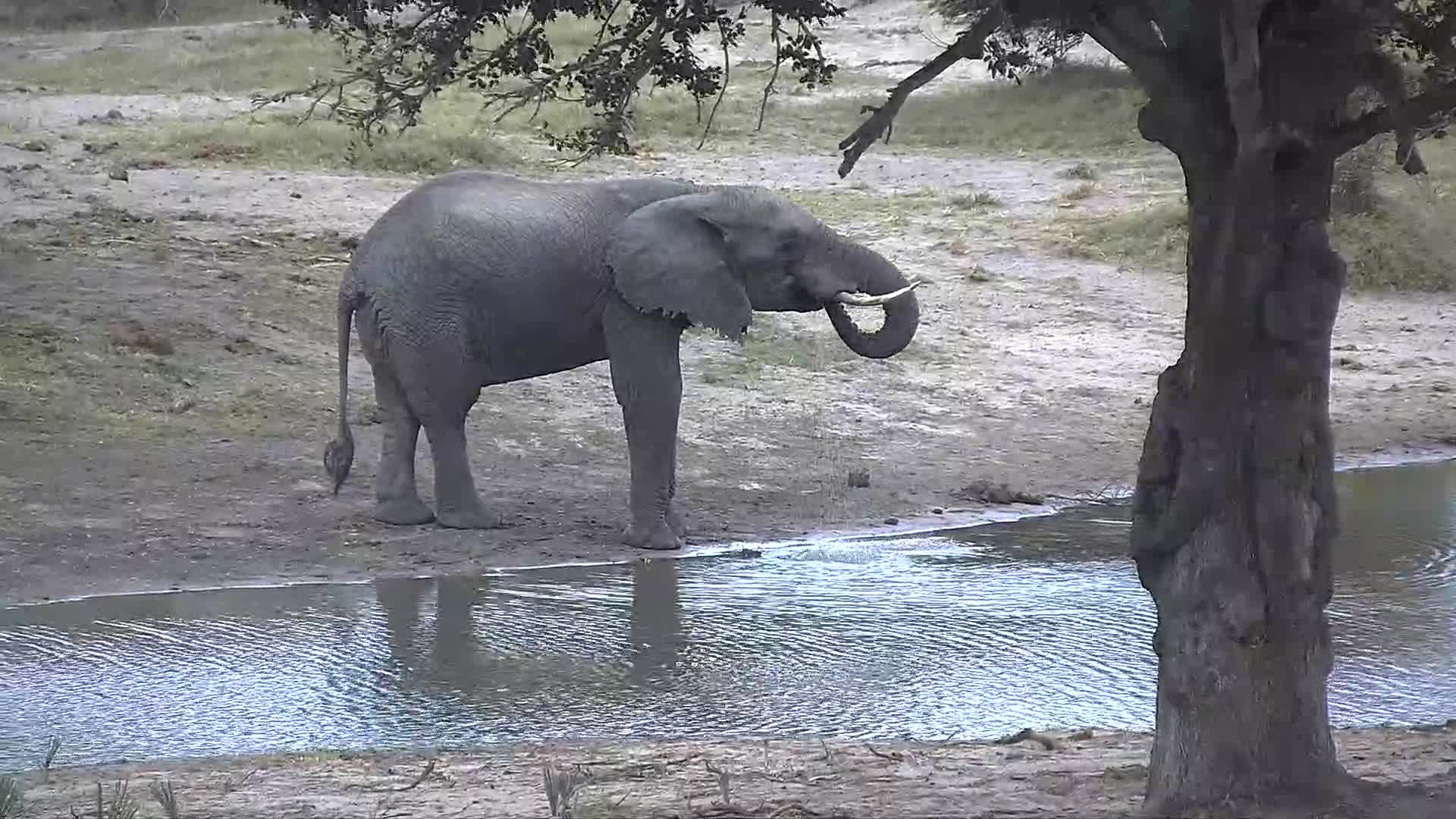 VIDEO: Elephant has a drink at the waterhole
