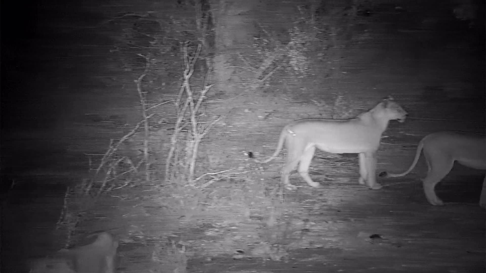 VIDEO: The Thakazile Lion Pride passing through