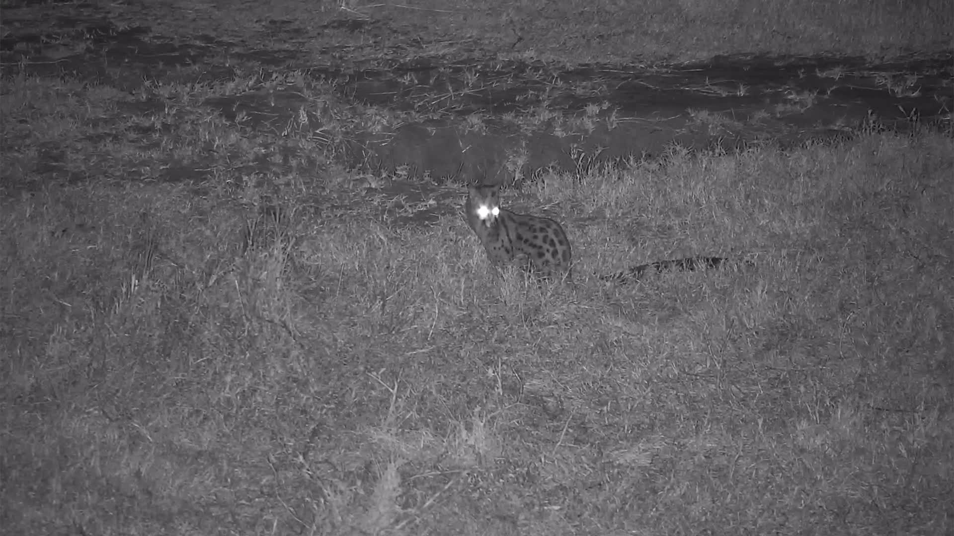 VIDEO: Genet on the prowl