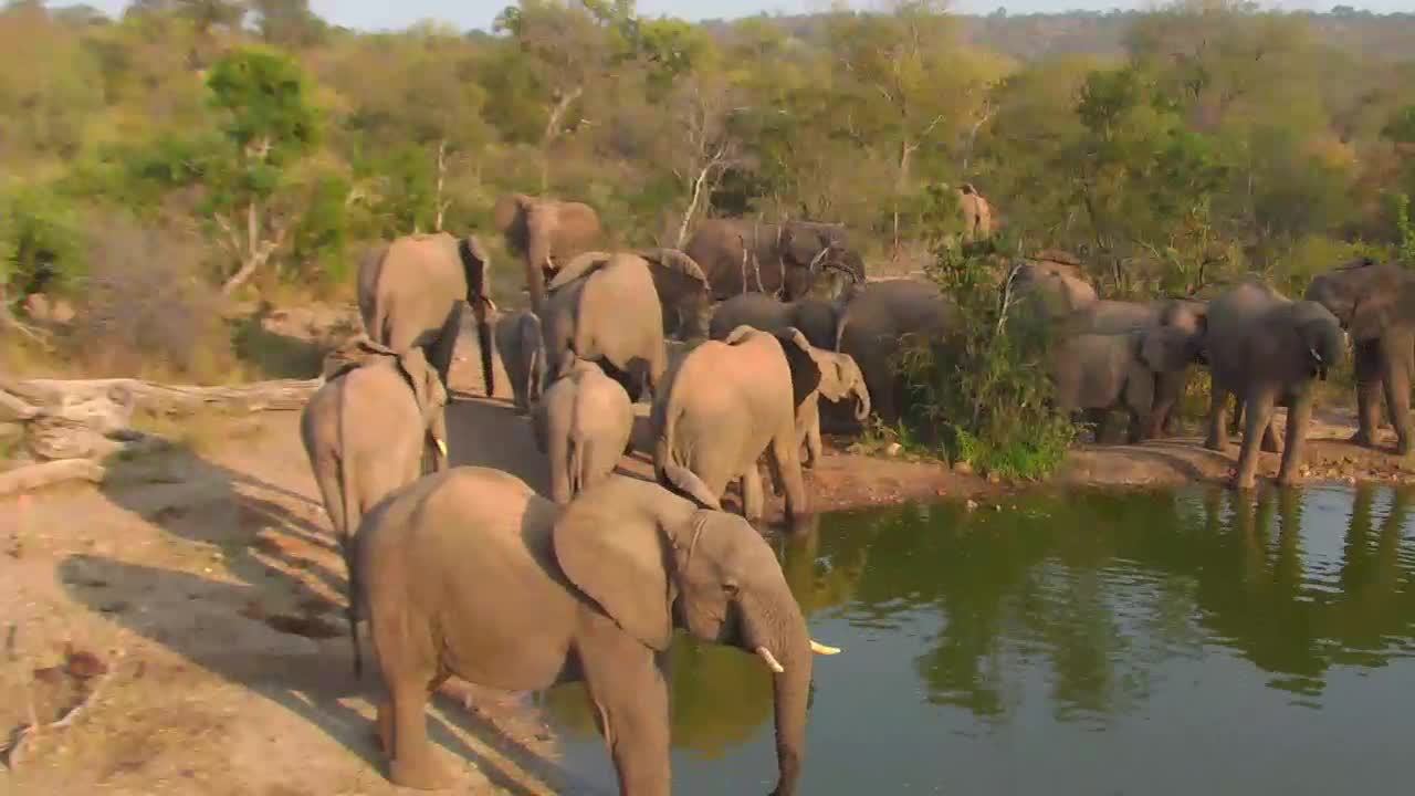 VIDEO:Large breeding herd of Elephants came for a drink this morning