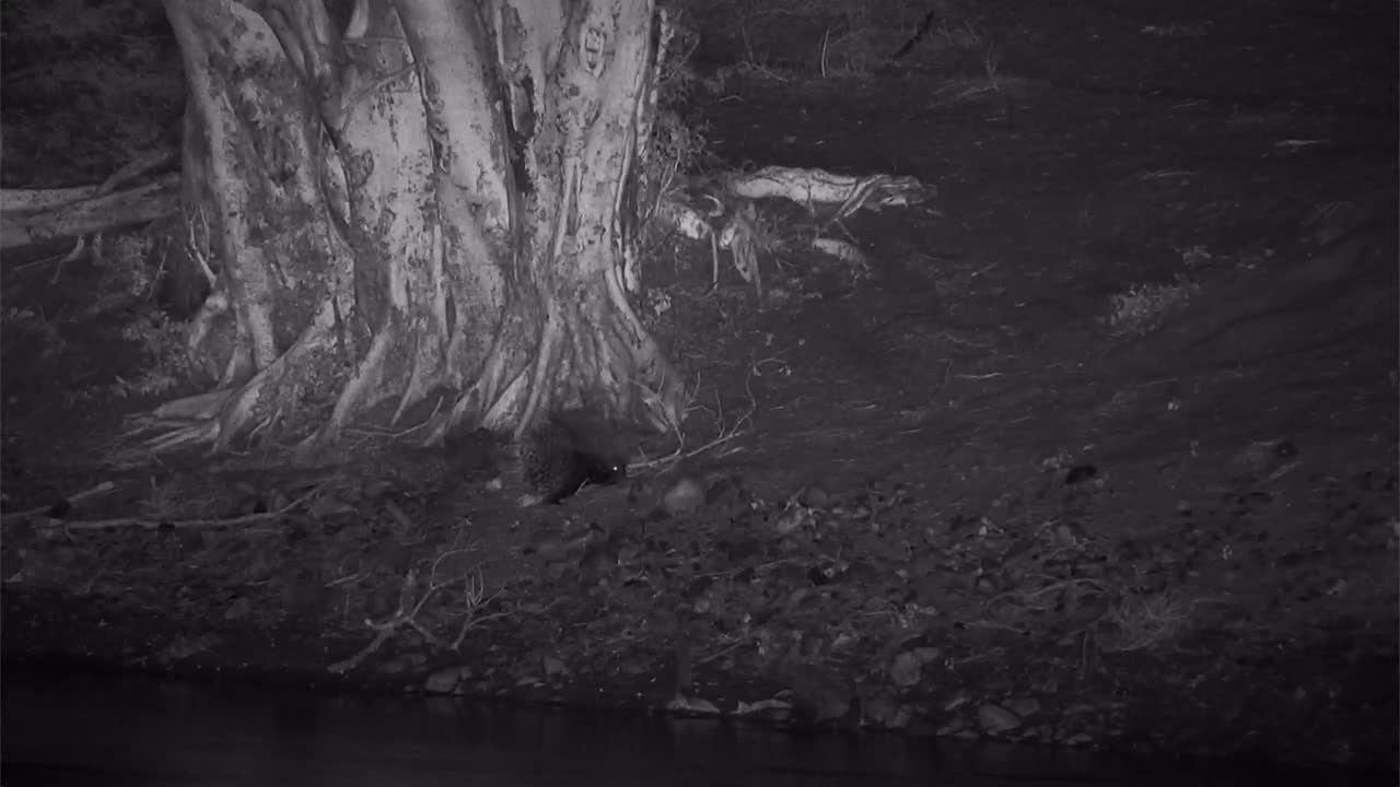 VIDEO: Porcupine moving about the area at the base of the tree