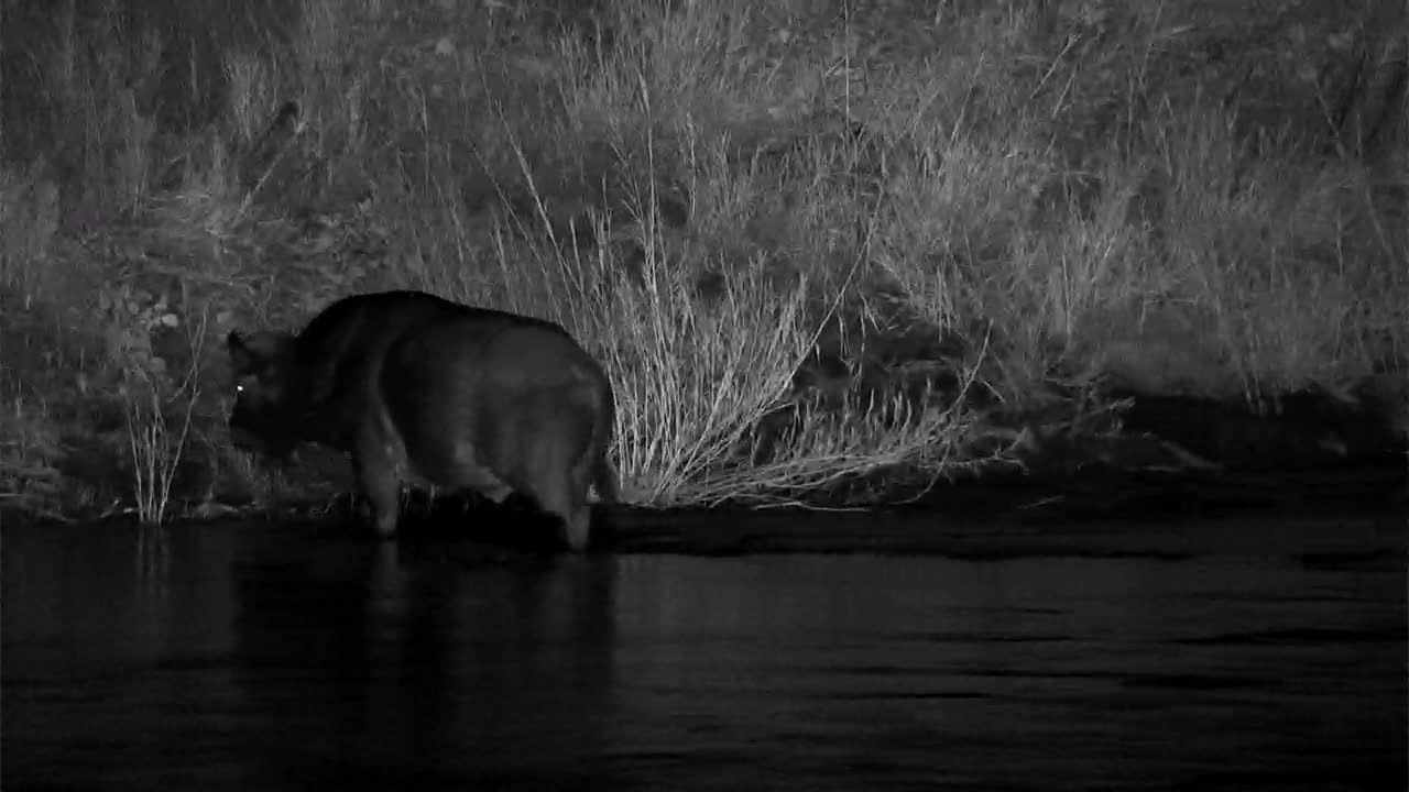 VIDEO: Cape Buffalo crosses the river then rubs its face in the grass at the other side.