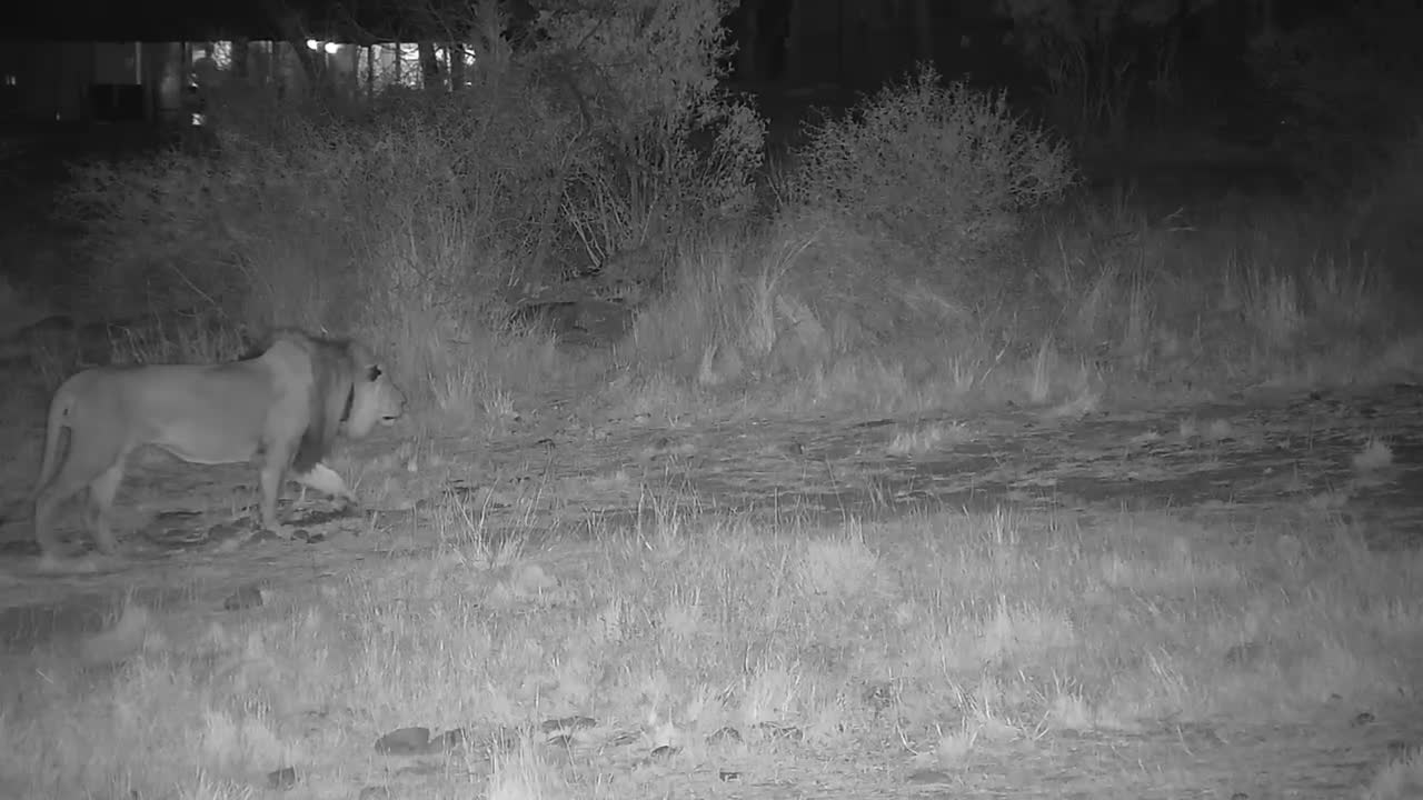 VIDEO: Male lion hunting Impala he did not get one
