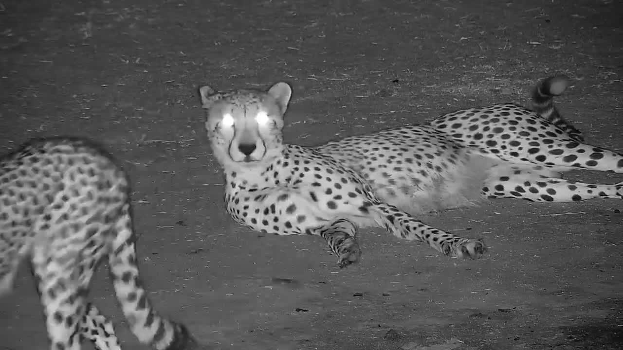 VIDEO: The Cheetah Pair Return
