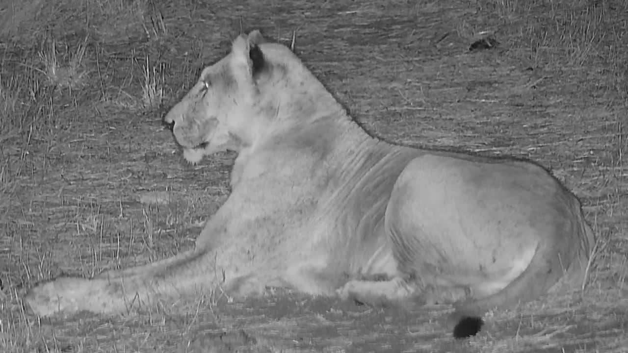 VIDEO: Pride of Lions at the waterhole for a drink