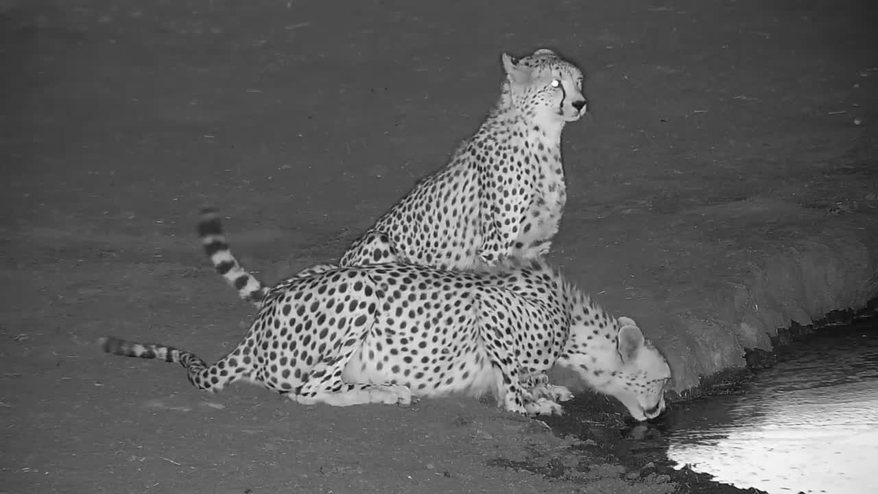 VIDEO: Two thirsty Cheetahs with full bellies
