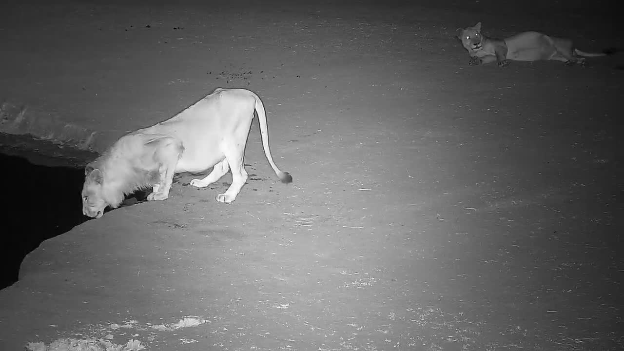 VIDEO: Lion has a drink and lies down