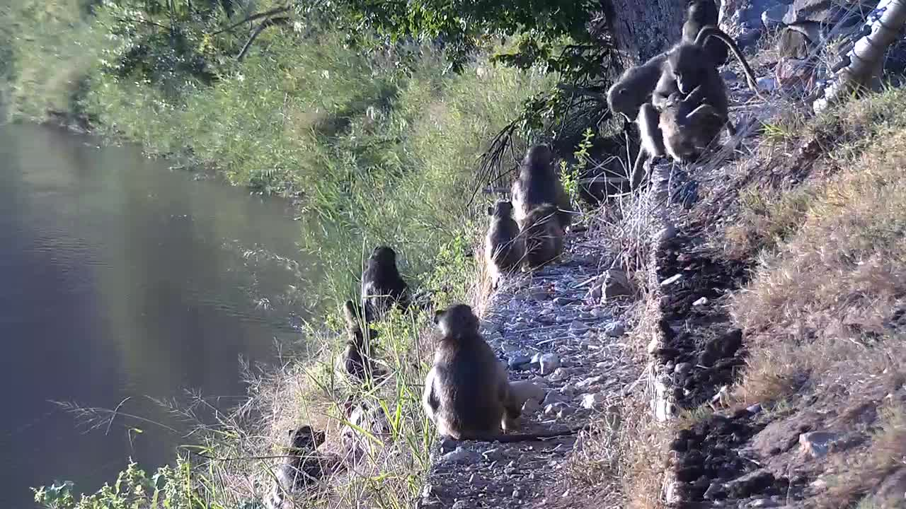 VIDEO: Baboons digging for breakfast and enjoying the morning sun