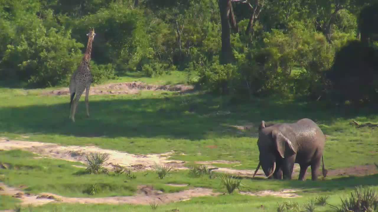 VIDEO:Elephant and Giraffe at Tembe