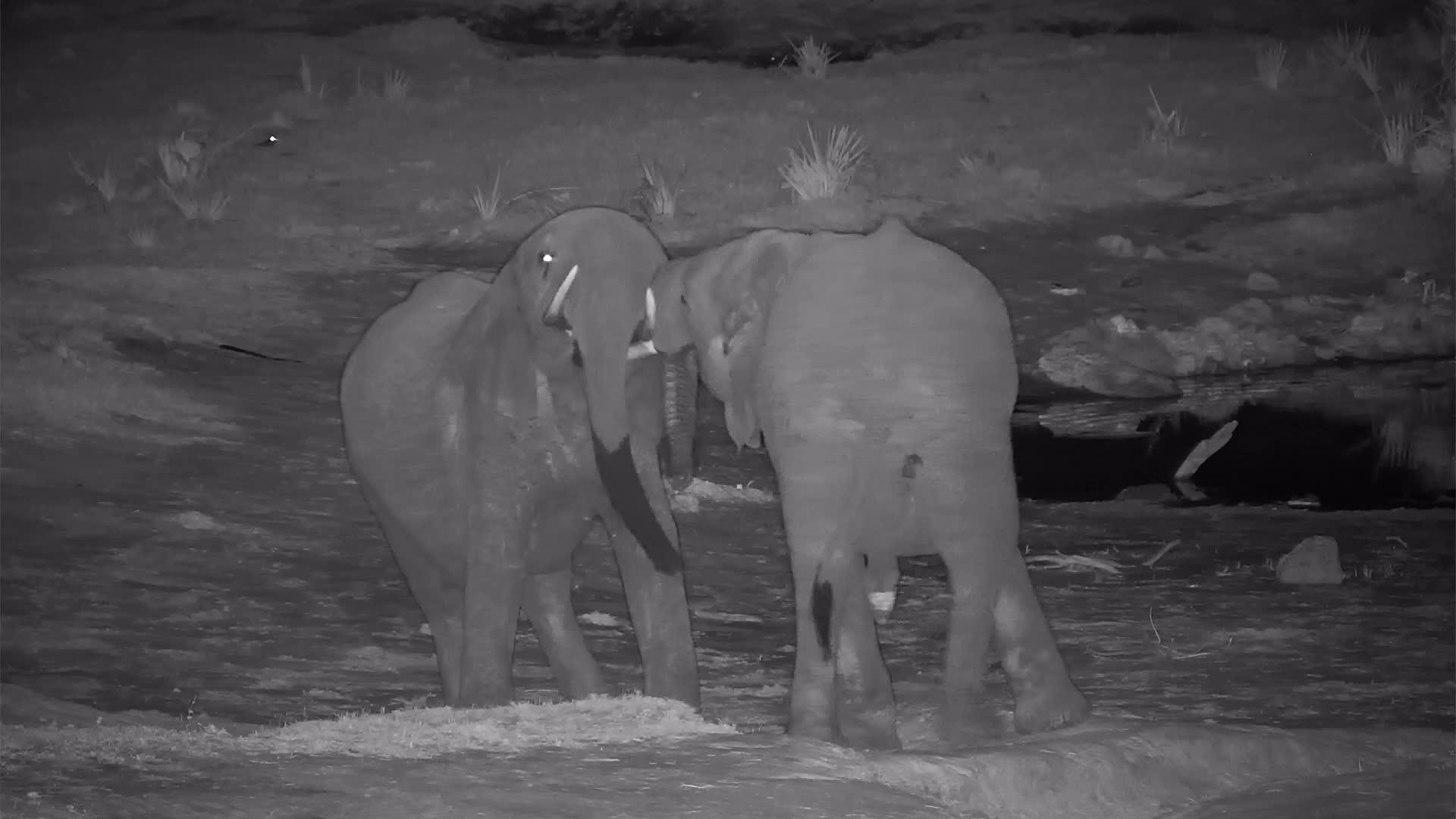 VIDEO: Young elephants' male bonding