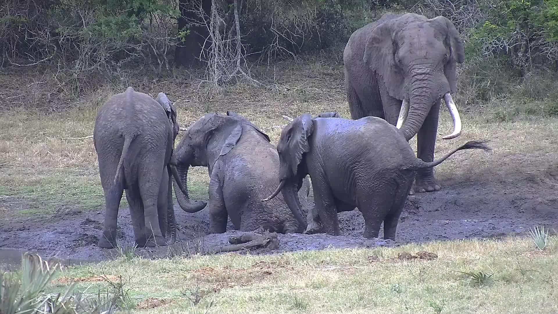 VIDEO: Elephants enjoy the mud puddles next the waterhole
