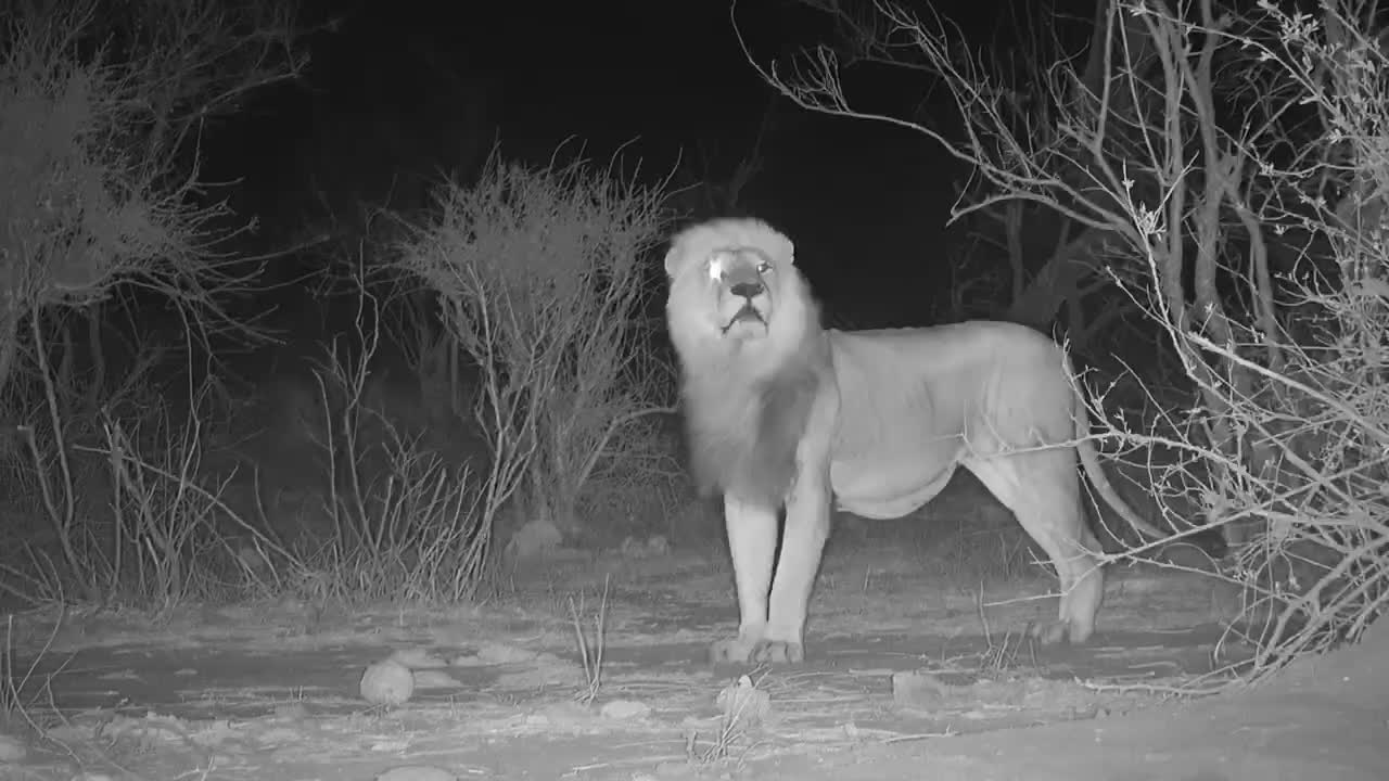 VIDEO: Beautiful male Lion making his presence known.