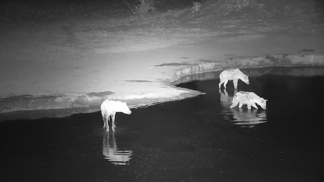 VIDEO: Several Hyaenas searching and soaking.