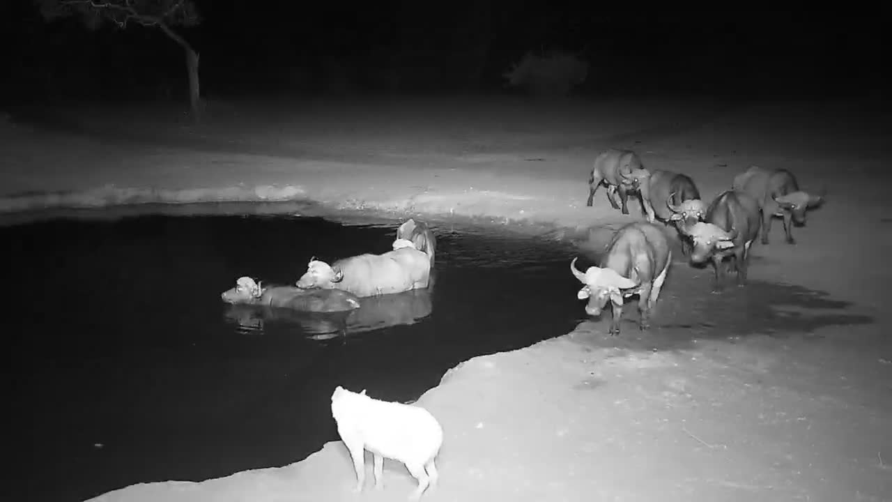 VIDEO: Hyaena watching Cape Buffalos in the water until  the Cape Buffalos chase him away