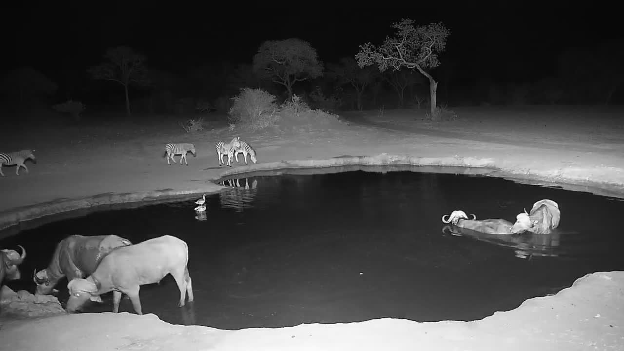 VIDEO: Cape Buffalo bulls and Zebras at the waterhole