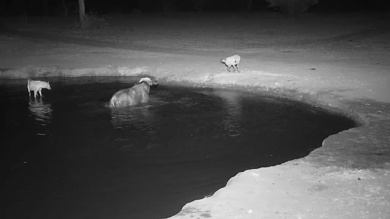 VIDEO: Cape Buffalo vs Hyaenas - part 1