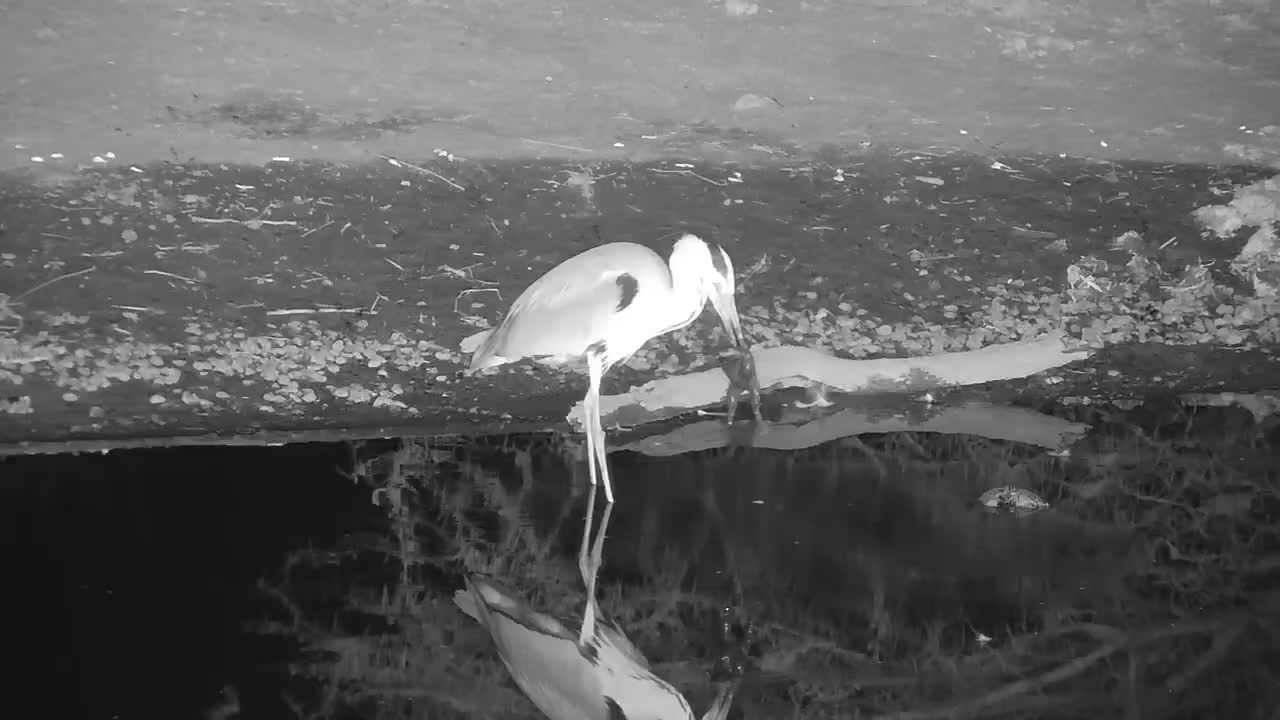 VIDEO: Grey Heron with a Large Frog - Part 1: Preparing his meal