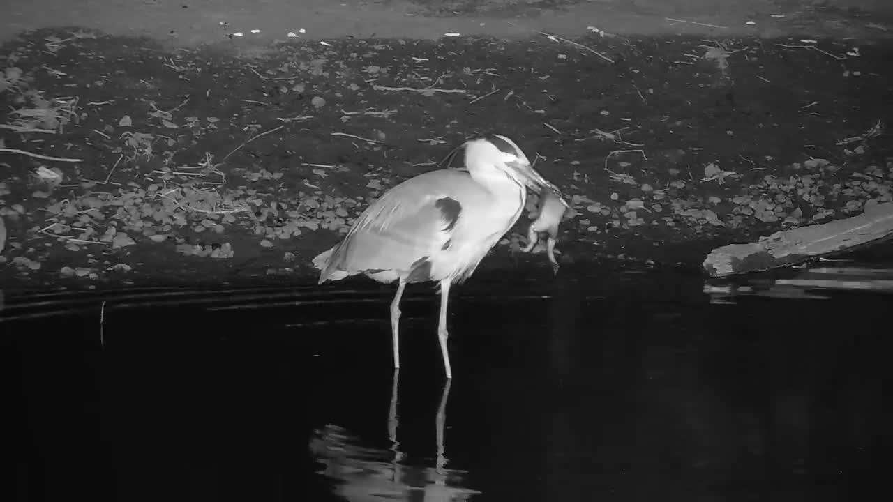 VIDEO: Grey Heron with a Large Frog - Part 2: Finishing his meal