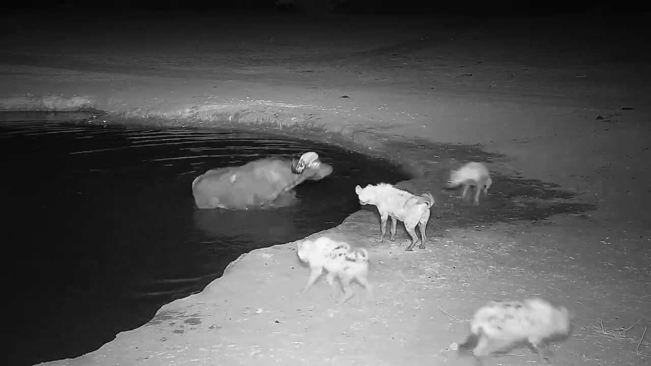 VIDEO: Cape Buffalo vs Hyaenas - part 2