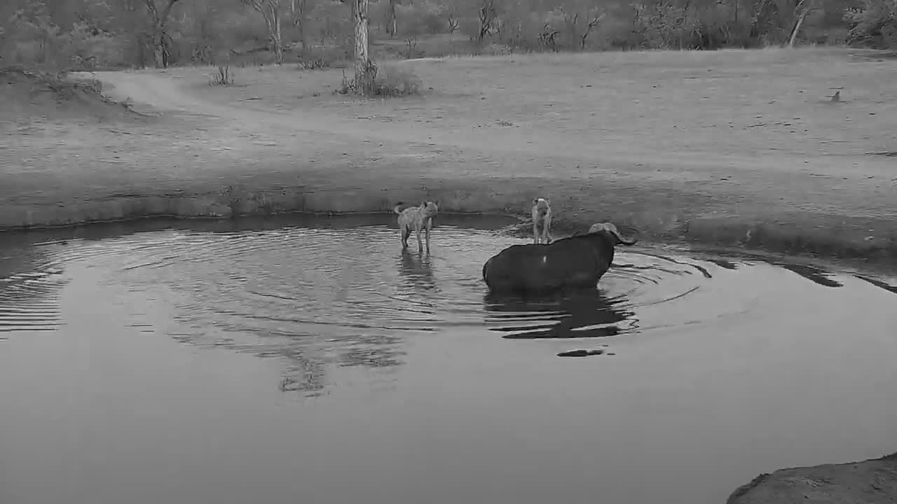 VIDEO: Cape Buffalo vs Hyaenas - part 3