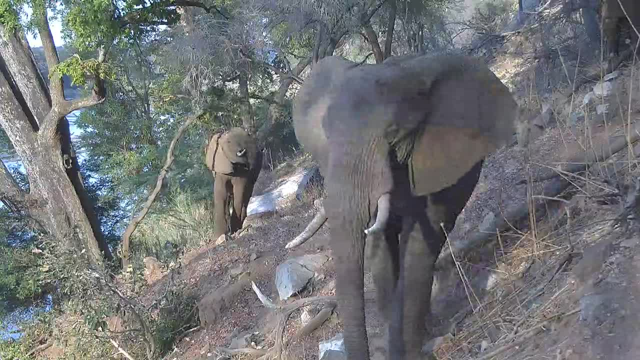 VIDEO:  Elephants:  Big stretch to get some leaves.