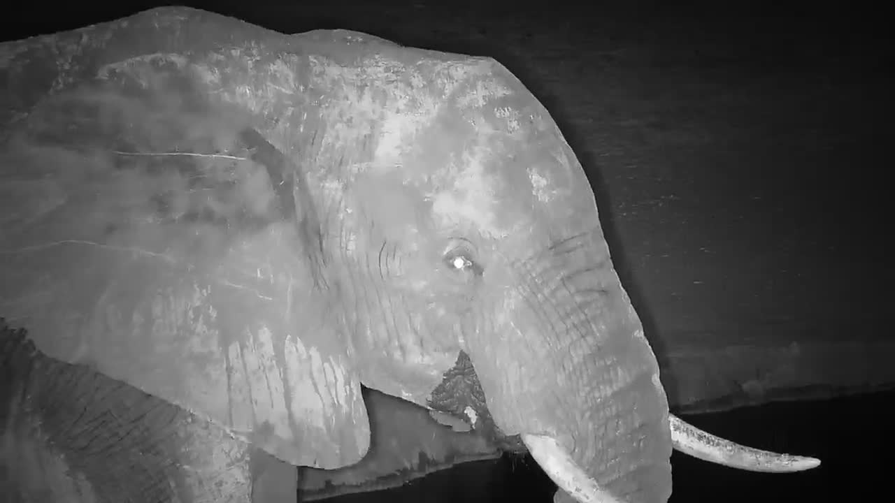VIDEO: Elephant bull stops by for a drink