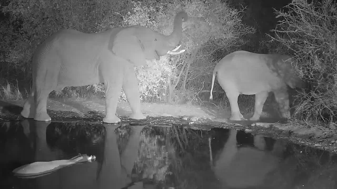 VIDEO: Hippo comes to soak and Elephants comes to drink and browse