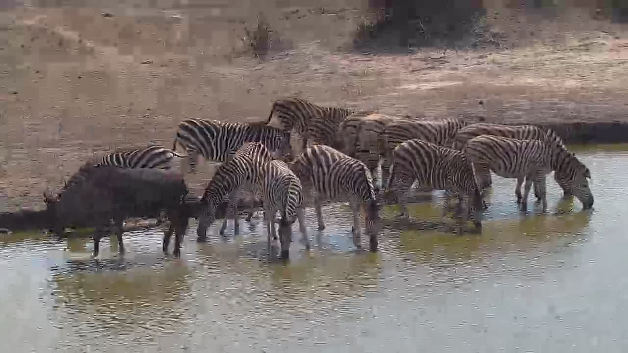 VIDEO: Zebra and Wildebeest at the water.