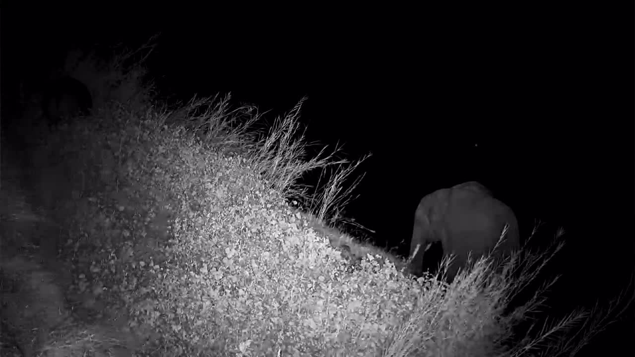 VIDEO: Two Elephants and a hippo under the cam grazing