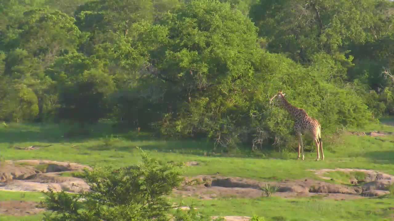 VIDEO:Giraffe at Tembe