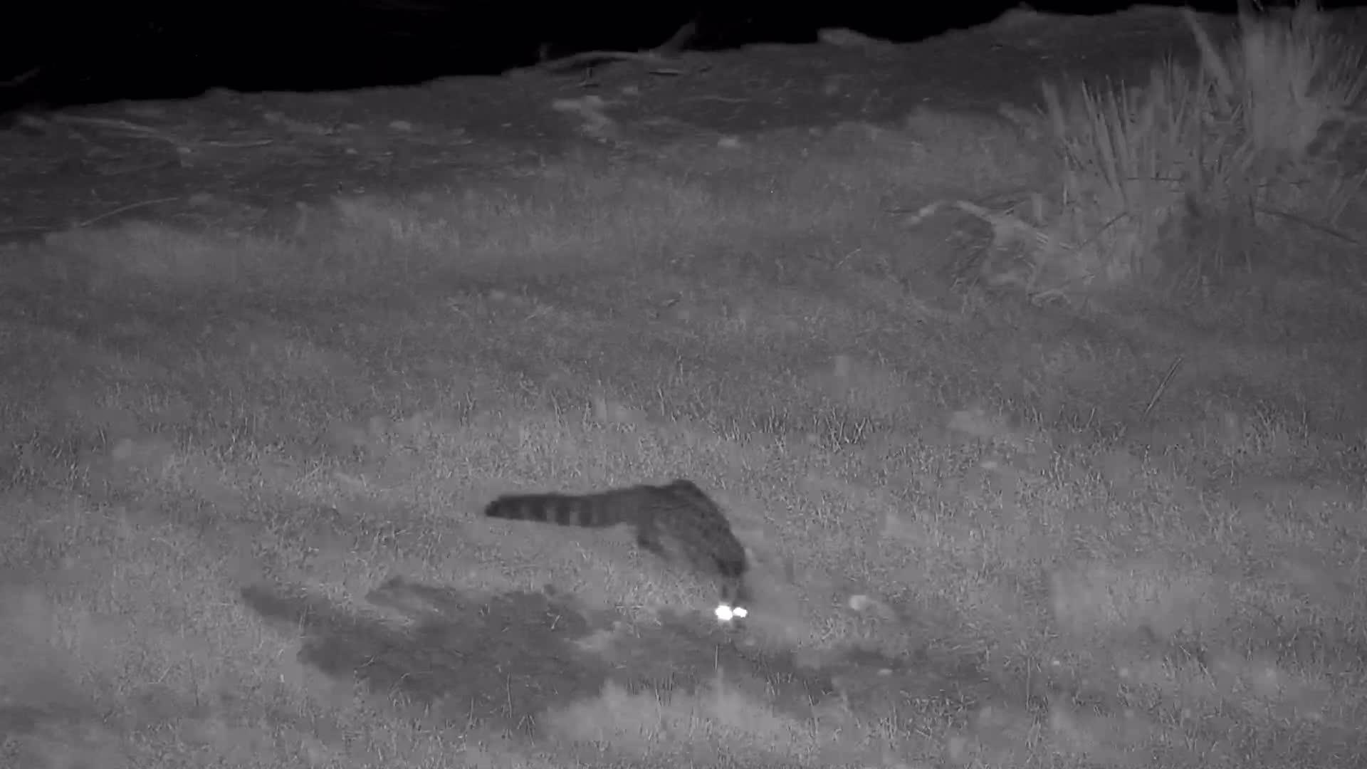 VIDEO:  Genet on its nightly hunt.