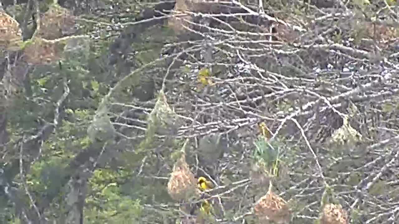 VIDEO: Southern Masked Weavers on their nests