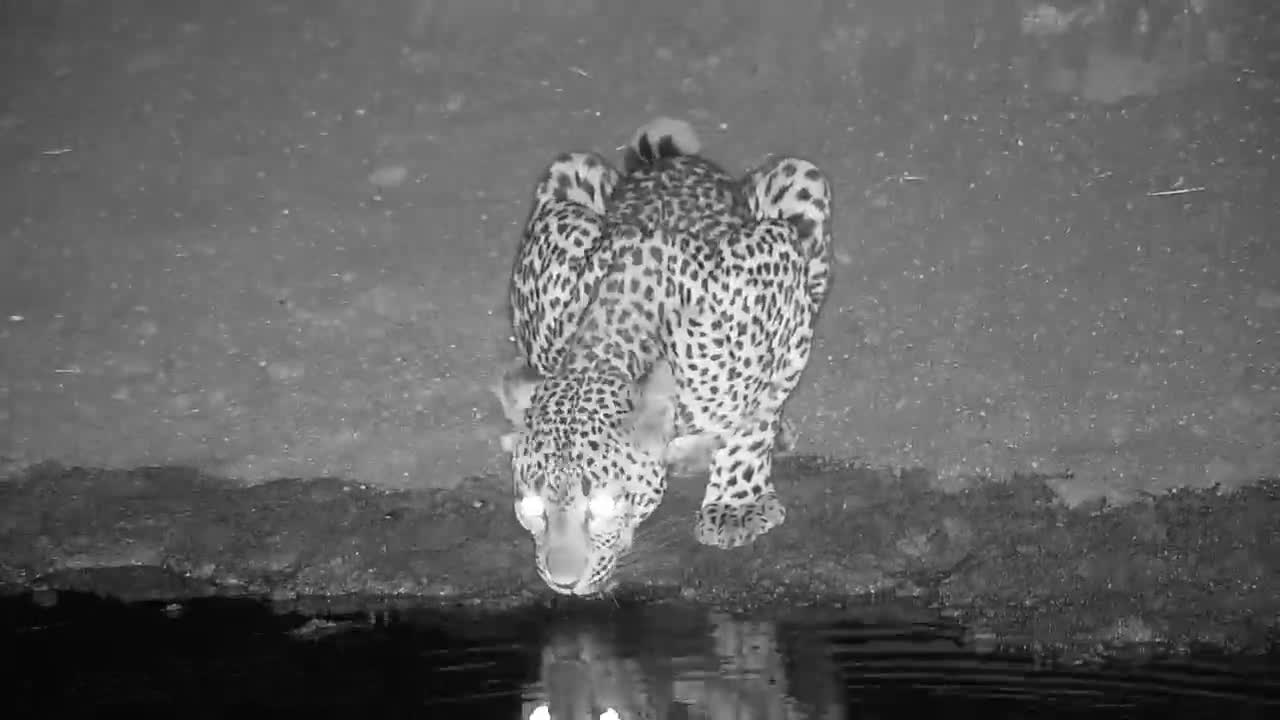 VIDEO: Leopard drinking