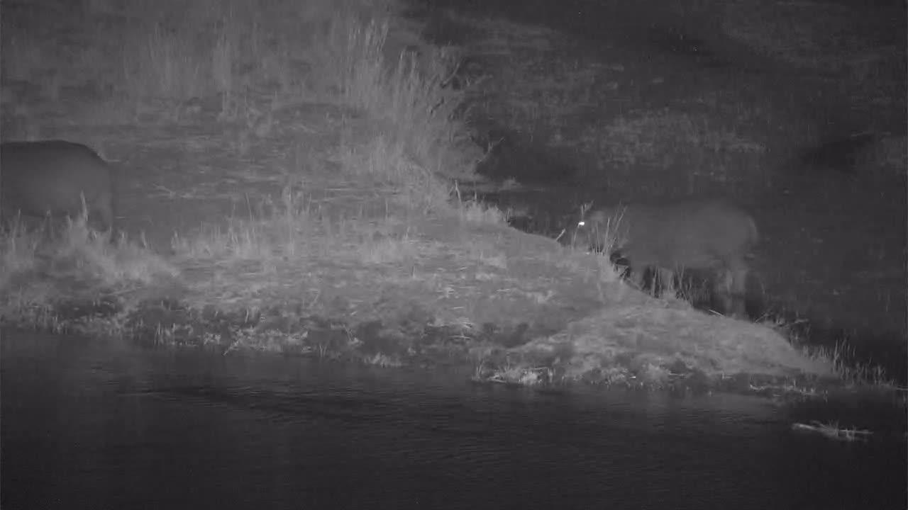 VIDEO: Pair of Hippopotamus' visiting the river