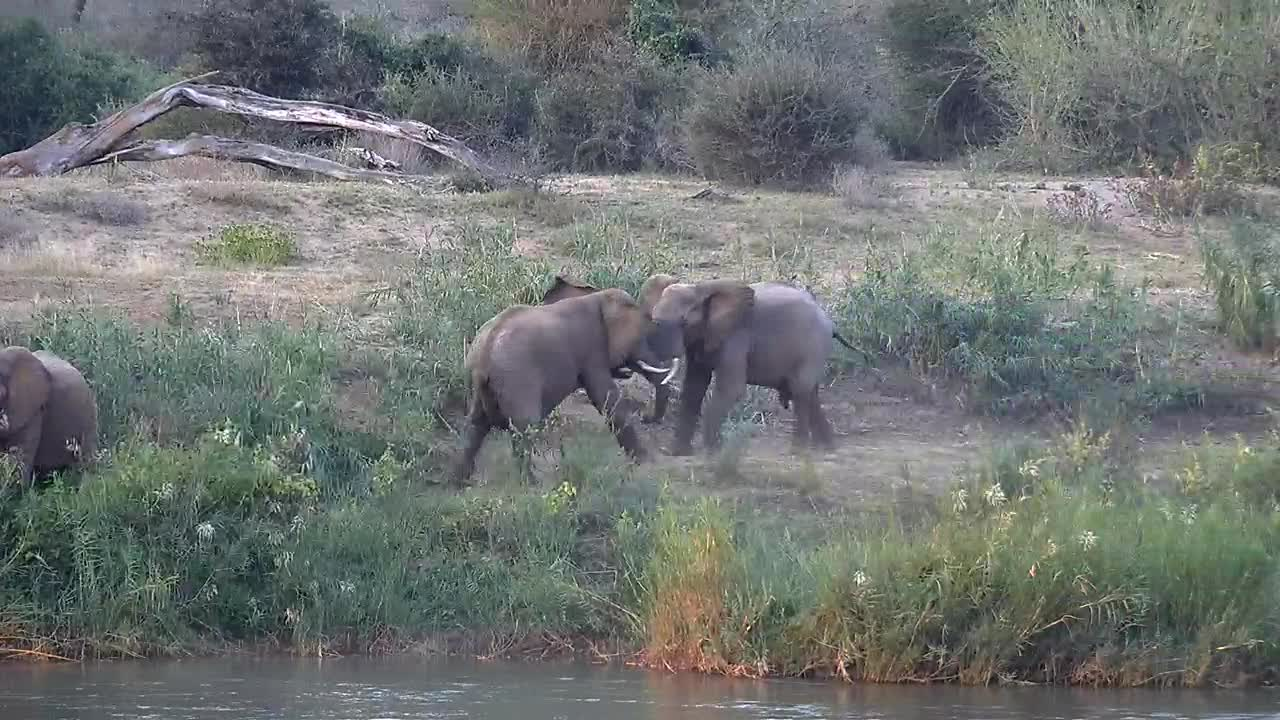 VIDEO: Young Elephant Bulls wrangling and pushing each other at the bank of the Olifants River.