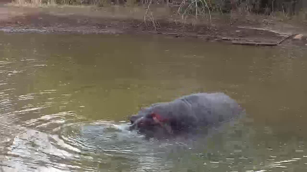 VIDEO:  Hippopotamus playing in the water rolling on its back